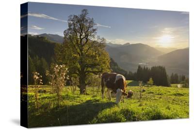 Evening Mood at the KitzbŸheler Horn, Cows, Tyrol, Austria by Rainer Mirau