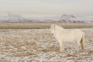 Iceland Horse, Near Hvollsvšllur, South Iceland, Iceland by Rainer Mirau