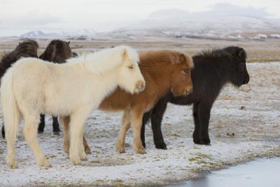 Iceland Horses, Near Hvollsvšllur, South Iceland, Iceland by Rainer Mirau