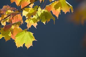 Maple, Leaves, Autumn by Rainer Mirau