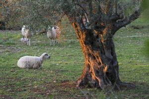 Olive Trees at Deia, Sheep, Majorca, the Balearic Islands, Spain by Rainer Mirau