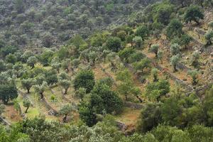 Olive Trees, Majorca, the Balearic Islands, Spain by Rainer Mirau