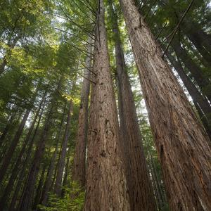 Redwood, Julia Pfeiffer Burns State Park, California, Usa by Rainer Mirau
