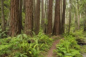 Redwood, Stillwater Cove Regional Park, Sonoma Coast, California, Usa by Rainer Mirau
