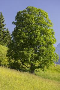 Sycamore Maple, Ennstal, Styria, Austria by Rainer Mirau