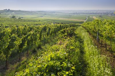 Vineyards Between Baden Bei Wien and Gumpoldskirchen, Vienna Basin, Lower Austria, Austria by Rainer Mirau