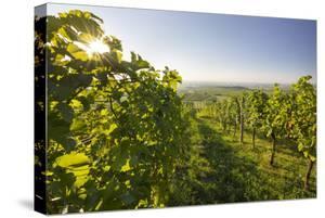 0fef2f331 Vineyards Between Baden Bei Wien and Gumpoldskirchen, Vienna Basin, Lower  Austria, Austria