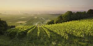 Vineyards Between Baden Bei Wien and Gumpoldskirchen, Vienna Basin, Lower Austria, Austria by Rainer Mirau