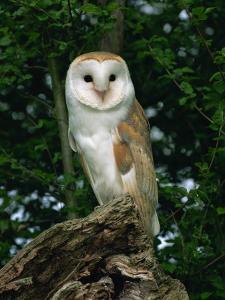 Barn Owl, Warwickshire, England, United Kingdom, Europe by Rainford Roy