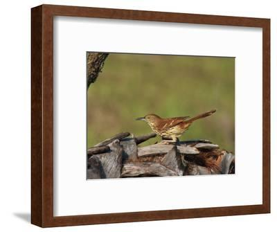 Brown Thrasher, South Florida, United States of America, North America