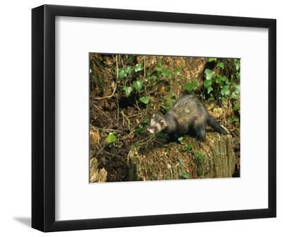 Polecat Ferret, Warwickshire, England, United Kingdom, Europe
