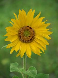 Sunflower, Provence, France, Europe by Rainford Roy