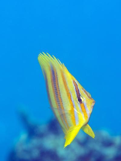 Rainford's Butterflyfish (Chaetodon Rainfordi), Cairns, Queensland, Australia, Pacific-Louise Murray-Photographic Print