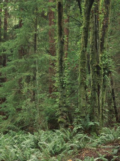 Rainforest, Olympic Peninsula, Olympic National Park, Washington State, USA-Walter Bibikow-Photographic Print