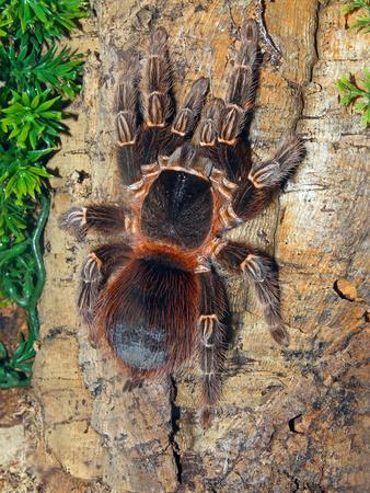 Brazilian Fire Red, One of the Biggest Tarantula Giants, Brazil, South America