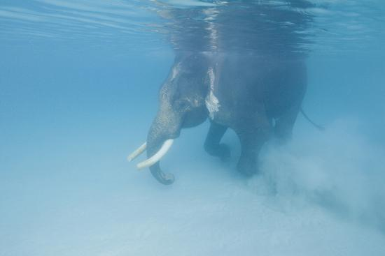 Rajan, the Elephant, Walks Underwater Lifting Sand Near a Beach in the Andaman Islands, India-Cesare Naldi-Photographic Print