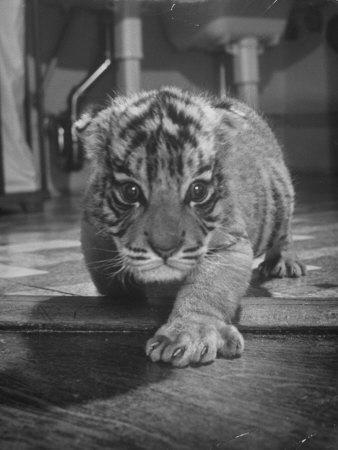 https://imgc.artprintimages.com/img/print/rajpur-a-tiger-cub-being-cared-for-by-mrs-martini-wife-of-the-bronx-zoo-lion-keeper_u-l-p6yq140.jpg?p=0