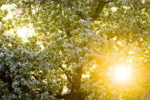 Pear Tree, Blossom, Detail by Ralf Gerard