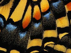 Close-Up of Anise Swallowtail's Wing by Ralph Clevenger