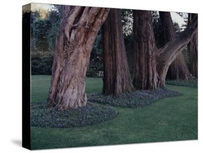 Gnarled Cypress Trees Surrounded by Dalmation Bell Flowers and Blue Grass Lawn. California