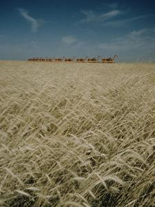 Harvest Story: Combines Harvest Wheat at Ranch in Texas by Ralph Crane