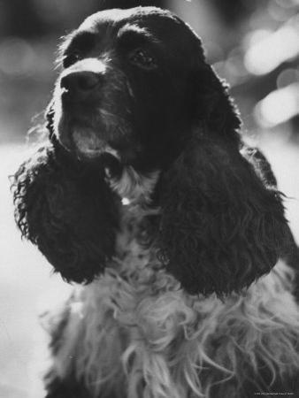 Richard M. Nixon's Dog, Checkers