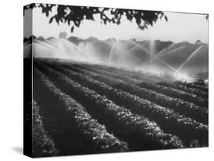 Sprinkler System in Tomato Field by Ralph Crane