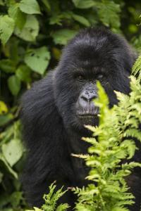 Africa. Rwanda. Female mountain gorilla at Volcanoes National Park. by Ralph H. Bendjebar