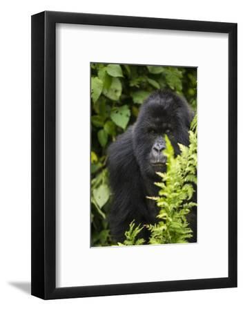 Africa. Rwanda. Female mountain gorilla at Volcanoes National Park.