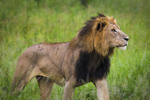 Africa. Tanzania. African Lion at Tarangire National Park. by Ralph H^ Bendjebar