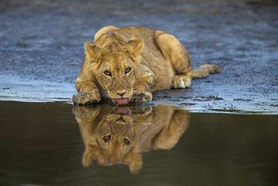 Africa. Tanzania. African lions at Ndutu, Serengeti National Park.