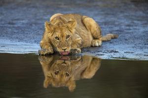 Africa. Tanzania. African lions at Ndutu, Serengeti National Park. by Ralph H^ Bendjebar