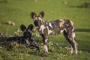 Africa. Tanzania. African wild dogs, Serengeti National Park. by Ralph H^ Bendjebar