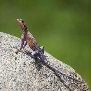 Africa. Tanzania. Agama lizard, Serengeti National Park. by Ralph H. Bendjebar