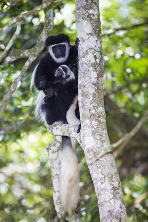 Africa. Tanzania. Black and White Colobus at Arusha National Park.