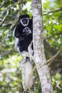 Africa. Tanzania. Black and White Colobus at Arusha National Park. by Ralph H. Bendjebar