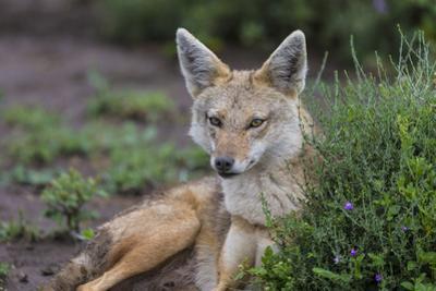 Africa. Tanzania. Golden jackal, Canis aureus, Serengeti National Park.