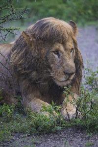 Africa. Tanzania. Male African Lion after a rainstorm at Ndutu, Serengeti National Park. by Ralph H^ Bendjebar