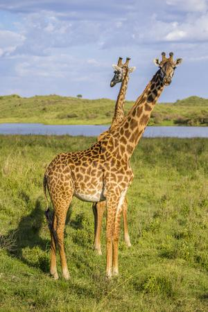 Africa. Tanzania. Masai giraffes at Arusha National Park.