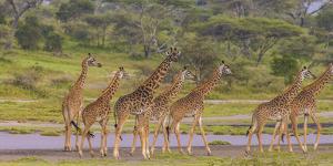 Africa. Tanzania. Masai giraffes at Ndutu, Serengeti National Park. by Ralph H^ Bendjebar