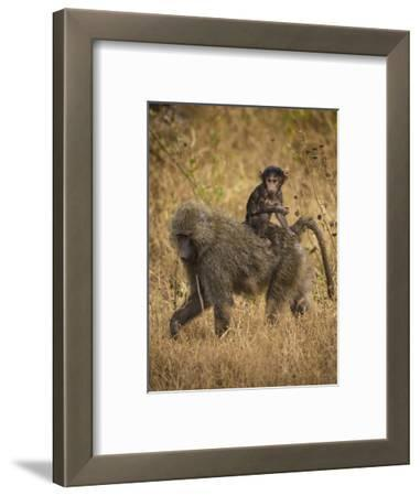 Africa. Tanzania. Olive baboon female with baby at Serengeti National Park.