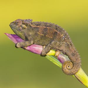 Africa. Tanzania. Rough chameleon, Trioceros rudis, at Ngorongoro crater. by Ralph H. Bendjebar