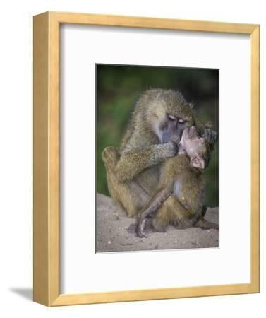 Africa. Tanzania. Yellow baboon, Papio cynocephalus, female with baby at Serengeti National Park.