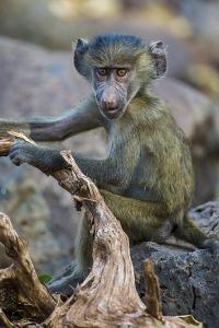 Africa. Tanzania. Yellow baboon, Papio cynocephalus, juvenile at Serengeti National Park. by Ralph H^ Bendjebar