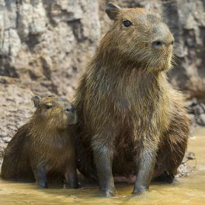Brazil. A capybara with its young in the Pantanal. by Ralph H^ Bendjebar