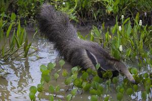 Brazil. A giant anteater in the Pantanal. by Ralph H^ Bendjebar