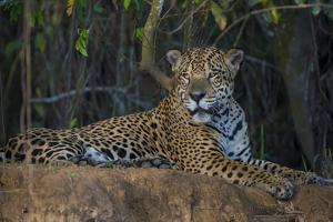 Brazil. A jaguar rests along the banks of a river in the Pantanal. by Ralph H^ Bendjebar