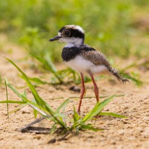Brazil. A juvenile pied lapwing along the banks of a river in the Pantanal. by Ralph H^ Bendjebar