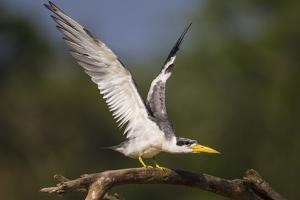Brazil. A large-billed tern perches along the banks of a river in the Pantanal. by Ralph H^ Bendjebar