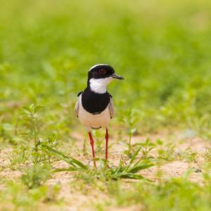 Brazil. A pied lapwing along the banks of a river in the Pantanal. by Ralph H^ Bendjebar
